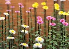 Färgrika krysantemum i japanskt växthus Närbild Royaltyfria Foton