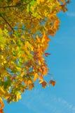Färgrika lönnlöv mot blå himmel Royaltyfria Bilder