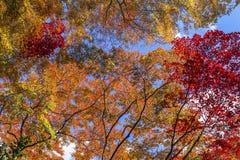 Färgrika lönnträd Arkivbild