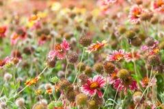 Färgrika lösa blommor på sommaräng Helenium Arkivfoton