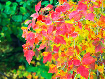färgrika leaves Royaltyfri Fotografi