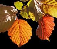 färgrika leaves Royaltyfri Bild