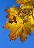 färgrika leaves för höst Arkivfoton