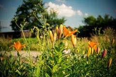 färgrika liljar Fotografering för Bildbyråer