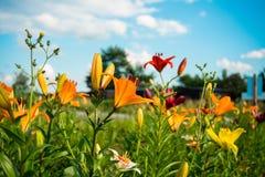 färgrika liljar Royaltyfri Foto