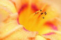 Färgrika liljor i en blommaträdgård Fotografering för Bildbyråer