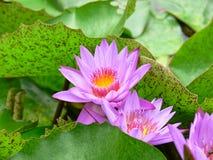 Färgrika liljor i Seychellerna Arkivfoto