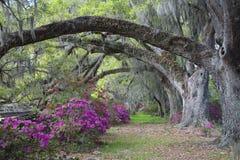 färgrika live oaks för azalea Royaltyfri Fotografi