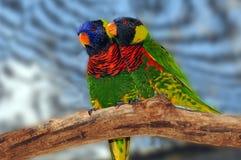 färgrika lorikeets Arkivbilder