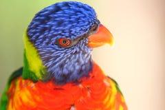 Färgrika loris ser på rätten royaltyfria foton