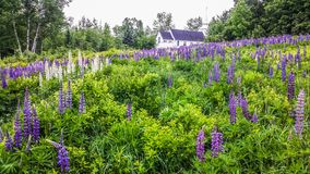 Färgrika Lupines i New Hampshire Arkivfoto