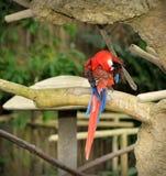 färgrika macaws Arkivfoton