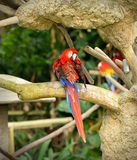 färgrika macaws Fotografering för Bildbyråer