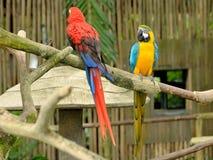 färgrika macaws Royaltyfri Fotografi