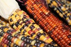 Färgrika majskolvar av majs arkivfoton