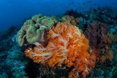 Färgrika mjuka koraller i Komodo royaltyfria bilder