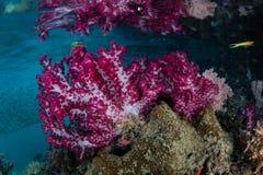 Färgrika mjuka koraller i Raja Ampat Channel arkivfoton