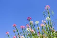 Färgrika muticolred spindelblommor grupperar naturliga modeller som blommar på ljus bakgrund för blå himmel royaltyfri fotografi