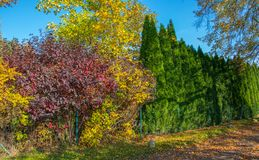 Färgrika nedgångbuskar och gröna thujas som växer runt om staketet som en häck royaltyfri fotografi