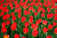 Färgrika nya tulpan på den Keukenhof trädgården Royaltyfri Foto