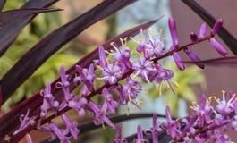 Färgrika och vibrerande Cordylinefruticosablommor av en dekorativ växt arkivbild