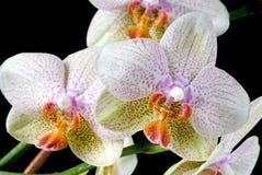 färgrika orchids Royaltyfri Bild