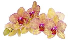 färgrika orchids pink yellow Arkivbilder