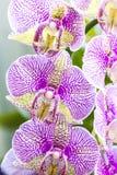 Färgrika orkidéblommor Royaltyfri Fotografi