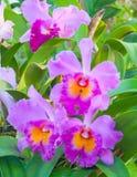 Färgrika orkidér för skönhet Fotografering för Bildbyråer