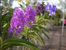 Färgrika orkidér i lantgård Royaltyfri Bild