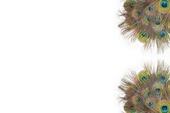 Färgrika påfågelfjädrar Royaltyfria Foton