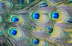 Färgrika påfågelfjädrar för svansar och konstnärliga påfågelfjädrar av lysande påfågelfjädrar royaltyfri bild
