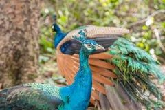 Färgrika påfåglar utomhus Royaltyfria Foton