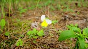 Färgrika Pansy Flowers i vår stock video