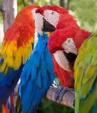 färgrika papegojor Royaltyfria Foton