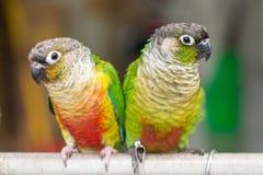 Färgrika papegojor Arkivfoton