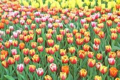 färgrika parktulpan skyen för showen för växter för rörelse för den förfallna för fältet för blueoklarhetsdagen ligganden för fok Royaltyfri Bild