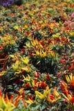 färgrika peppar Royaltyfri Fotografi