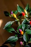 färgrika peppar för chili Fotografering för Bildbyråer