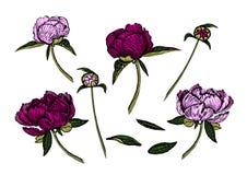 Färgrika pionblommor, knoppar och sidor, dragen hand vektor illustrationer