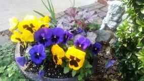 Färgrika purpurfärgade och gula pansies med pannastatyn i planter Arkivfoton
