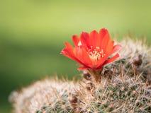 Färgrika röda blomningar av en liten kaktus royaltyfri bild