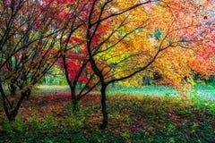 Färgrika röda höstsidor på träd arkivfoton