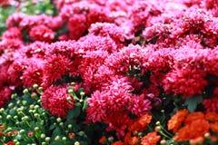Färgrika rosa blommor Royaltyfri Bild