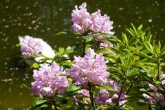 Färgrika rosa blommor Arkivfoto
