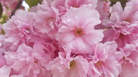 färgrika rosa blommor gränsar trädgårds- design för skönhetsommarinspiration Fotografering för Bildbyråer