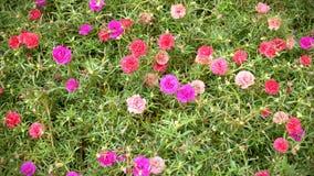 Färgrika Rose Moss Flowers Background Arkivbild