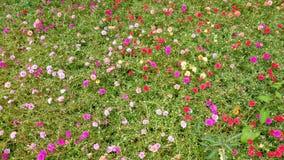Färgrika Rose Moss Flowers Background Royaltyfri Foto