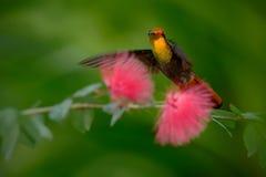 Färgrika Ruby-Topaz Hummingbird från det Tobago flyget bredvid härliga rosa färger blommar Arkivfoton