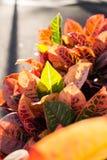 Färgrika sidor av Codiaeumvariegatumen Arkivfoton